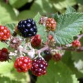image blackberries-jpg