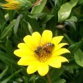 image bee-on-gazania-1-jpg