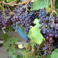 image black-muscatel-grapes-jpg