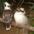 image 005-young-kookaburras-jpg