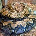 image 006-reticulated-python-jpg