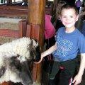 image 017-feeding-sheep-jpg