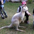 image 029-feeding-a-white-wallaby-jpg