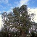 image 005-500yo-river-red-gum-tree-at-orroroo-jpg