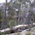 image 022-saplings-growing-on-dead-tree-trunk-wilpena-pound-jpg