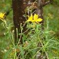 image alstroemeria-aurea-yellow-alstroemeria-alstroemeriaceae-1-jpg