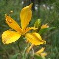 image alstroemeria-aurea-yellow-alstroemeria-alstroemeriaceae-2-jpg