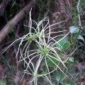 image clematis-aristata-goats-beard-mountain-clematis-rain-soaked-seed-pods-2-jpg