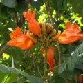 image african-tulip-tree-spathodea-campanulata-2-jpg