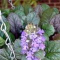 image ajuga-reptans-purpurea-bugleweed-or-carpet-bugleweed-1-jpg