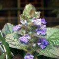 image ajuga-reptans-purpurea-bugleweed-or-carpet-bugleweed-2-jpg