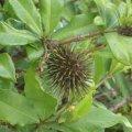 image allamanda-4-seed-pod-jpg