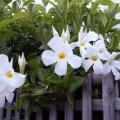 image allamanda-white-2-jpg
