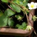 image alpine-strawberry-flower-jpg