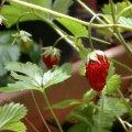 image alpine-strawberry-jpg