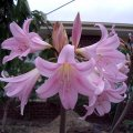 image amaryllis-belladonna-naked-ladies-jpg