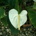 image anthurium-english-white-jpg