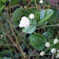 image arabian-jasmine-grand-duke-of-tuscany-2-jpg