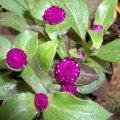 image bachelors-button-globe-amaranth-gomphrena-2-jpg