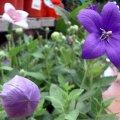 image balloon-flower-platycodon-astra-blue-1-jpg