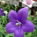 image balloon-flower-platycodon-astra-blue-2-jpg