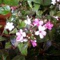 image balsaminaceae-impatiens-mini-jpg
