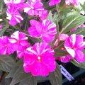 image balsaminaceae-impatiens-variegated-2-jpg