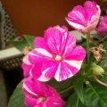 image balsaminaceae-impatiens-variegated-jpg