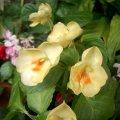 image balsaminaceae-impatiens-yellow-jpg