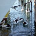 image 027-pelicans-under-jetty-cunninghame-arm-lakes-entrance-jpg