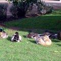 image kryal-castle-ducks-jpg