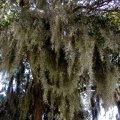 image 003-burns-point-spanish-moss-2-jpg