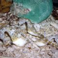 image 015-big-bellied-seahorses-jpg