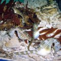 image 016-big-bellied-seahorses-jpg