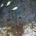 image 027-blue-spotted-stingray-dasyatis-kuhlii-jpg