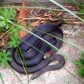 image 005-alpine-copperhead-snakes-jpg