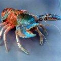 image 007-spiny-freshwater-crayfish-specimen-jpg