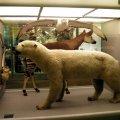 image 029-polar-bear-specimen-jpg