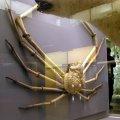 image 030-japanese-spider-crab-specimen-jpg