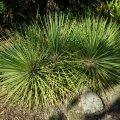 image agave-sticta-jpg