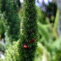 image asparagus-fern-asparagus-densiflorus-myersii-2-jpg
