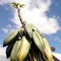 image babaco-mountain-papaya-carica-pentagona-jpg