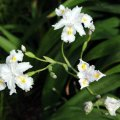 image bamboo-iris-iris-confusa-jpg