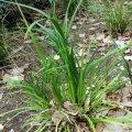 image branching-grass-flag-libertia-paniculata-iridaceae-1-jpg