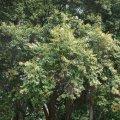 image brown-myrtle-myrtaceae-1-jpg