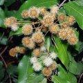 image brown-myrtle-myrtaceae-2-jpg