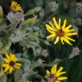 image bush-sunflower-california-brittlebush-coast-sunflower-encelia-californica-1-jpg