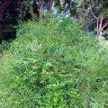 image carmichaelia-exsul-lord-howe-island-native-new-zealand-broom-1-jpg