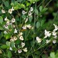 image carmichaelia-exsul-lord-howe-island-native-new-zealand-broom-2-jpg