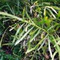 image centipede-plant-tapeworm-plant-ribbon-bush-homalocladium-platycladum-1-jpg